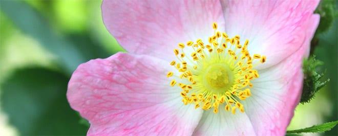 Ansiedad por dolor crónico, flores de bach