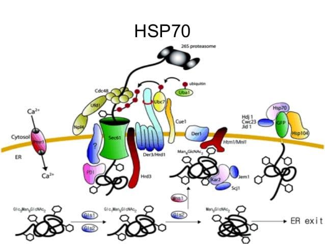 hipertermia cancer. proteina hsp70