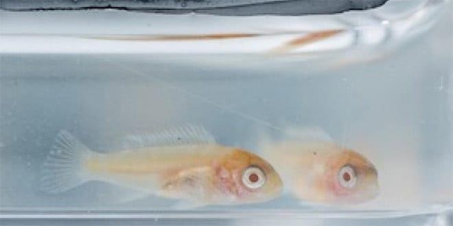 Regeneración dental peces