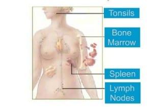Sistema inmune. Organos