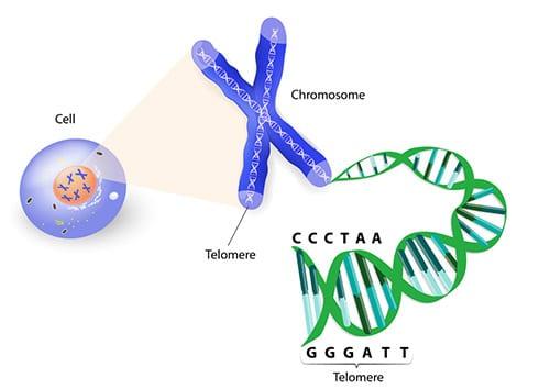 Telómeros